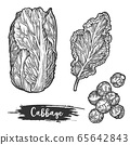 Napa cabbage or sketch of chinese cauliflower 65642843