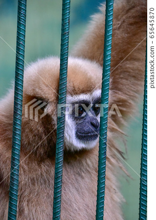 Gibbon Clanging inside of the Cage at the Zoo. 65645870