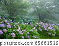 繡球花的繡球花 65661519