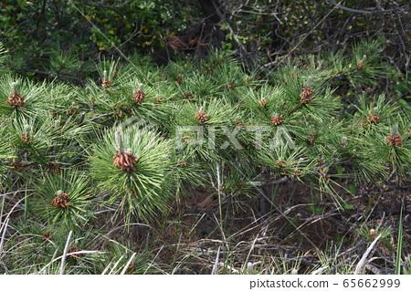 男性和女性的松樹花 65662999