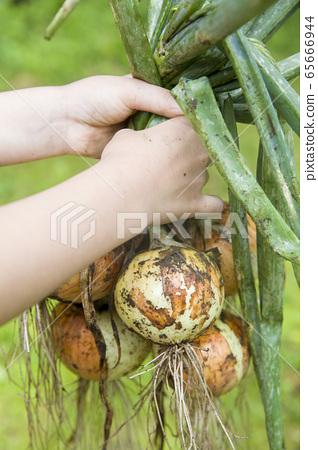 孩子的手拿著被弄髒的蔥 65666944