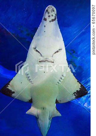 Guitarfish or Guitar Fish in aquarium 65670097