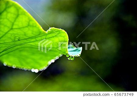 빗물방울 맺힌 연잎 65673749