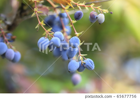 히이라기난텐의 열매 65677756