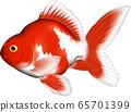 金魚(Ryukin) 65701399