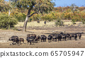 African buffalo in Kruger National park, South 65705947