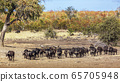 African buffalo in Kruger National park, South 65705948