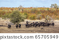 African buffalo in Kruger National park, South 65705949