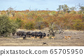 African buffalo in Kruger National park, South 65705950