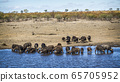 African buffalo in Kruger National park, South 65705952