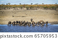 African buffalo in Kruger National park, South 65705953