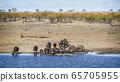 African buffalo in Kruger National park, South 65705955