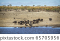 African buffalo in Kruger National park, South 65705956
