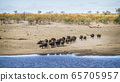 African buffalo in Kruger National park, South 65705957