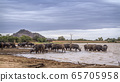 African buffalo in Kruger National park, South 65705958