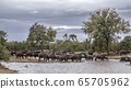 African buffalo in Kruger National park, South 65705962