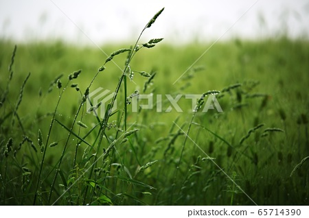 보리밭풍경,농장풍경 65714390