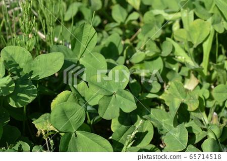 four Leaf Clover 65714518