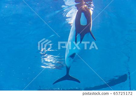 Dolphin dolphin 65725172