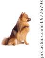 Lovely caramel colored dog on white background 65726793