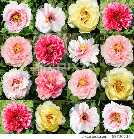 玉蘭花,木蘭花,五月花, 65730530