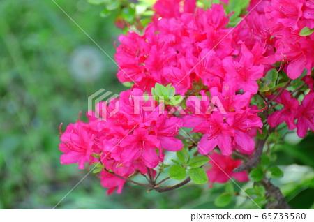 피는 정열의 꽃 65733580