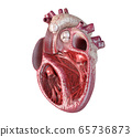 Human heart cross-section. 65736873