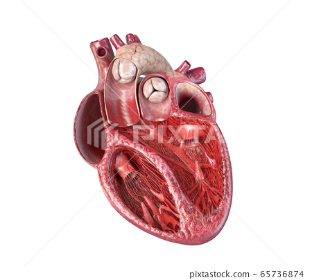 Human heart cross-section. 65736874
