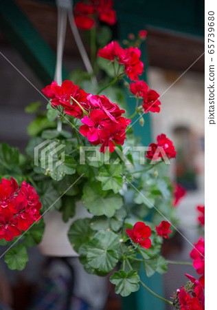 Pelargonium geranium. Red flowering plants in a pot. Vegetative background. Floriculture concept 65739680