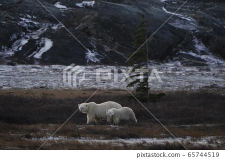 北極熊 65744519
