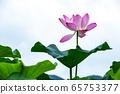 美麗的紅蓮花 65753377