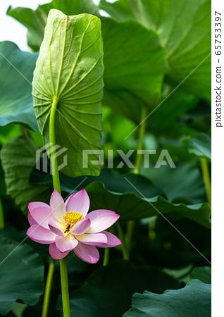 아름다운 연꽃 65753397