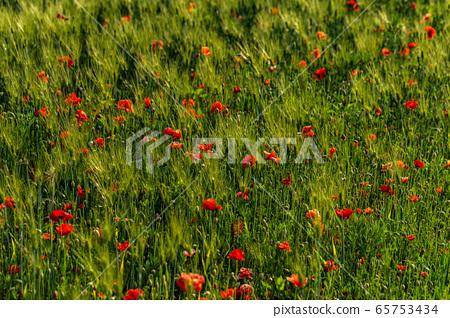 보리밭에 핀 꽃 양귀비 65753434