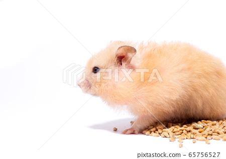 big fluffy red hamster eats grain, isolate 65756527