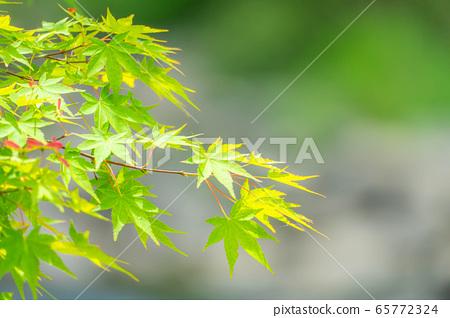 藍楓樹Tamaboke Korankei [愛知縣] 65772324