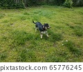black and white dog with stick on green grass 65776245