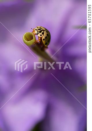 娜美帳篷亞洲瓢蟲甲蟲棲息在一朵美麗的花上 65781595