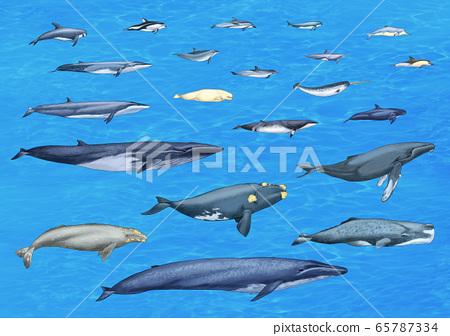 提炼鲸鱼的种类 65787334