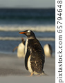 Gentoo penguin standing on a sandy beach 65794648