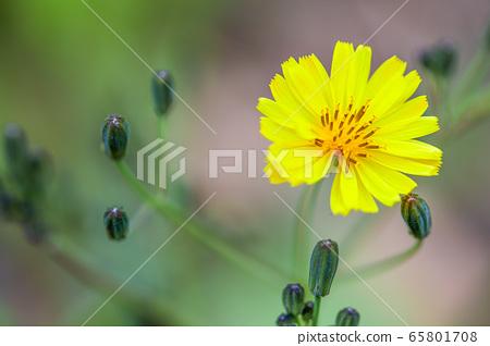 들판이나 야산에서 피어나는 들꽃 야생화 노란선씀바귀 65801708