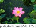 美麗的蓮花 65801753