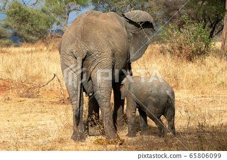 在坦桑尼亞塔蘭吉雷國家公園看到的非洲大象的後視圖 65806099