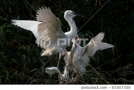 The Great Egret nestlings demanding food from mother 65807386
