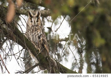 Long-eared owl (Asio otus) 65814985