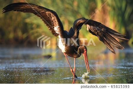 Black stork (Ciconia nigra) 65815393
