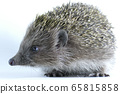 Hedgehog isolated on white background copy space. 65815858