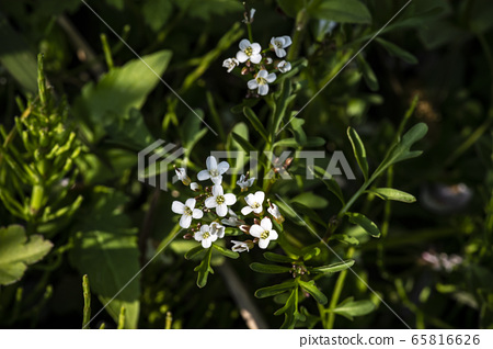 Korean wildflowers 65816626
