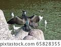 Japanese cormorant in Tokyo Bay, Temminck's cormorant, Phalacrocorax capillatus 65828355
