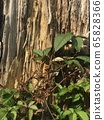 Ivy plant and bark 65828366