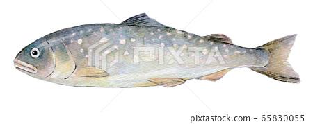 수채화 일러스트 민물 고기 민물 고기 생선 곤들 매기 65830055